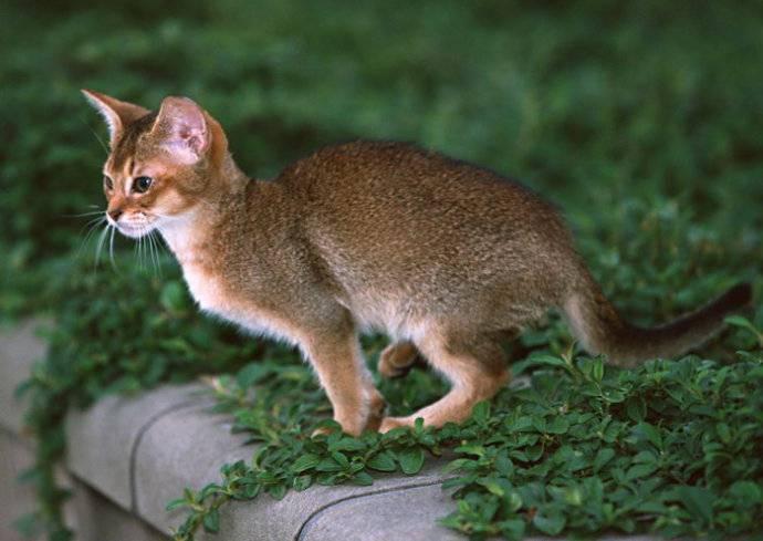 埃及貓動作輕盈活潑圖片
