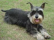 小型雪纳瑞犬活泼可爱图片