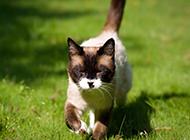 海豹重点暹罗猫草地上小跑图片