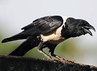 黑乌鸦意境摄影图片欣赏