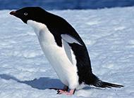 高清南极企鹅动物图片