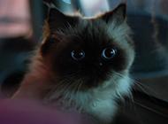长相可爱调皮的喜马拉雅种猫图片