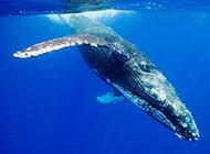 潜入海底的蓝鲸鱼图片
