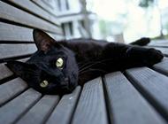 慵懒可爱的孟买猫图片