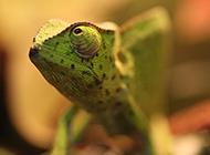 专注捕食的绿色变色龙图片