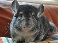身材肥嘟嘟的灰栗鼠图片