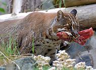 野生金貓圖片捕食模樣兇狠