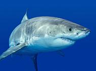 大白鲨鱼图片模样凶狠吓人