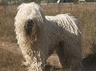 可爱淘气的可蒙犬图片