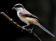 黑伯劳鸟羽翼丰满图片