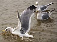 鸟类图片大全水中游玩的海鸥