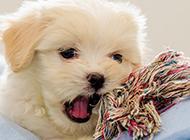 小型拉薩犬可愛賣萌圖片大全