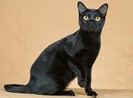眼神警惕的孟買貓圖片