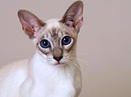 著名寵物貓大長臉暹羅貓圖片