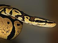 巨大蟒蛇高清特寫圖片