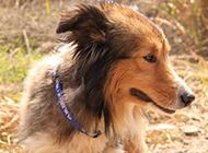美系蘇格蘭牧羊犬失落圖片
