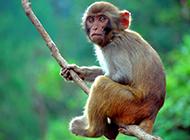 丛林猴子游玩摄影图片
