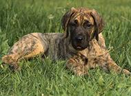 虎斑大丹犬幼崽草地歇息图片