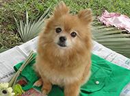 棕色公主狐狸犬可爱写真图片