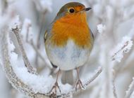 冬日枝頭上的知更鳥圖片