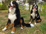 勇敢帥氣的伯恩山犬圖片