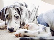 眼神无辜呆萌的大丹犬图片