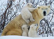 北極熊有趣生活場景:笨重身體濺起巨大水花