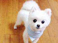 剪毛后白色俊介犬卖萌图片