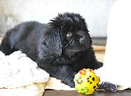 可爰紐芬蘭犬無辜眼神圖片
