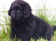 紐芬蘭犬可愛淘氣幼犬圖片