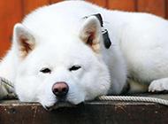 懒洋洋的白色秋田犬图片