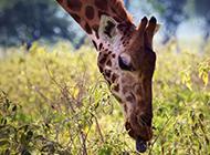 天然界心爱的长颈鹿高清图片
