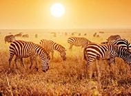 非洲草原上的斑馬高清圖片