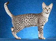 埃及貓文靜可愛圖片