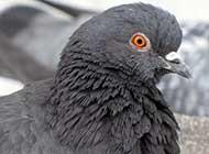 可愛機靈的鴿子高清圖片