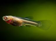 刚生下来的凤尾鱼图片萌萌的