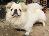 忧郁丑萌的京巴犬图片