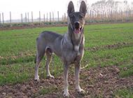 威猛霸氣的狼青犬圖片
