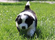 摇头摆尾的边境牧羊犬幼犬萌图