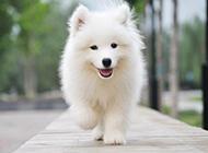 歡樂飛奔的薩摩耶犬圖片