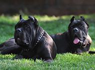 純種黑色卡斯羅犬圖片大全
