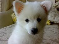 白狐貍犬呆萌可愛居家圖片