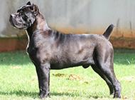 性情勇猛的純種卡斯羅犬圖片