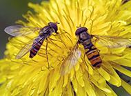 勤劳蜜蜂高清动物图片