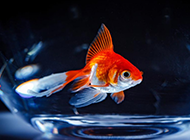 美麗的金魚攝影圖片欣賞