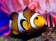 棲息于珊瑚礁的小丑魚圖片