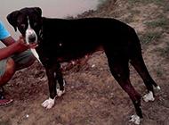 庫達犬健壯身軀圖片