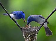 喂食幼仔的蓝色翠鸟图片