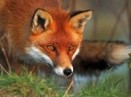 狐狸图片大全 狐狸头部特写图片