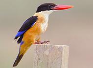 荊棘鳥高昂著頭的圖片